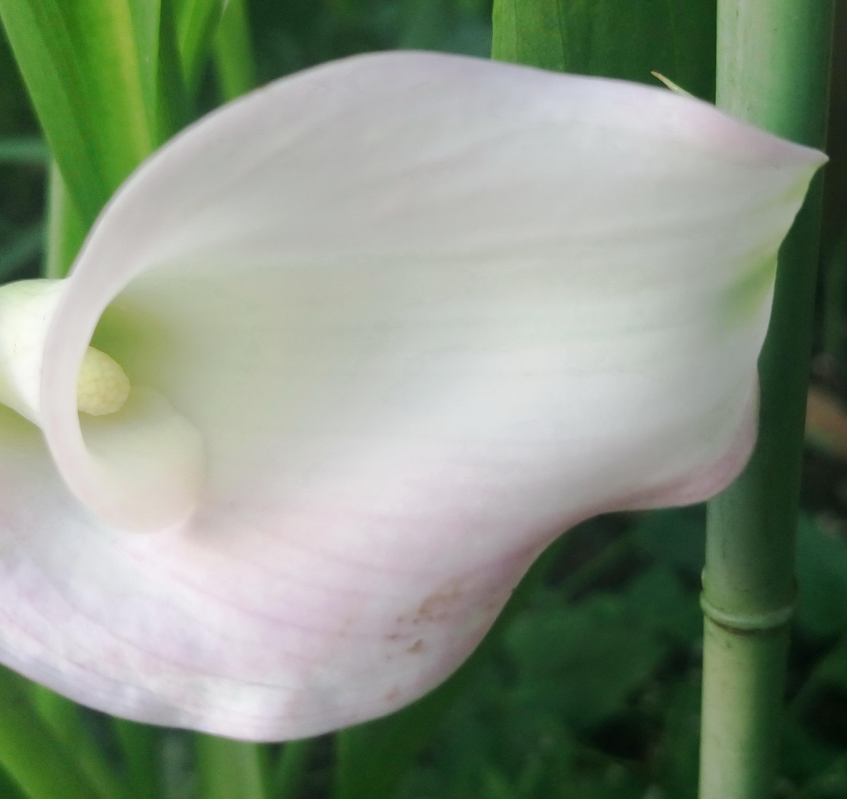 カラーの花