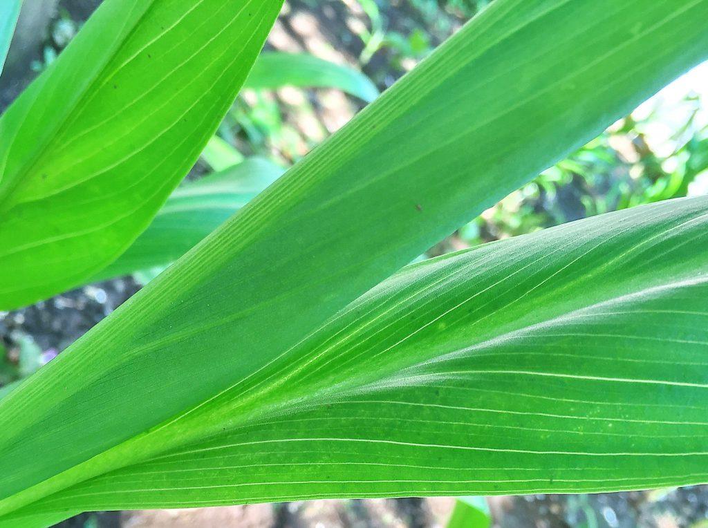 矢じり型、基部は鞘状のカラーの葉