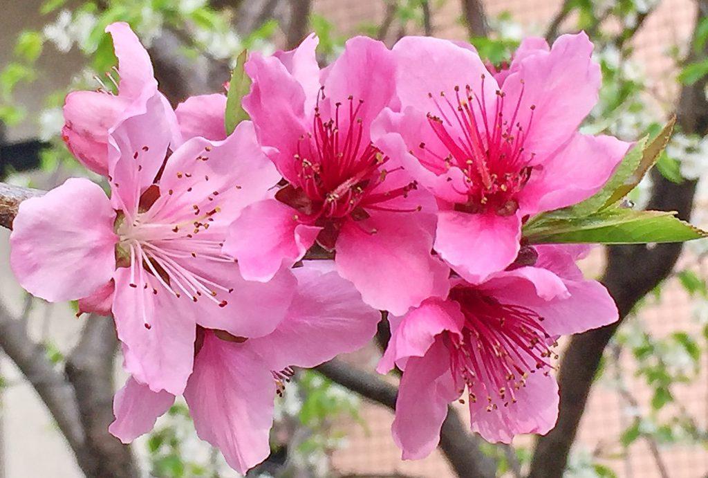 華やかな濃いピンクのモモの花
