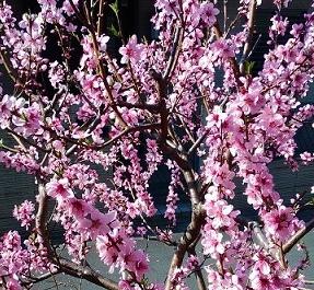 枝一面に付いたモモの花