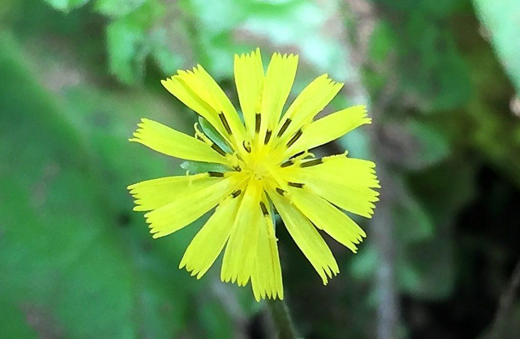 オニタビラコ(鬼田平子)の花