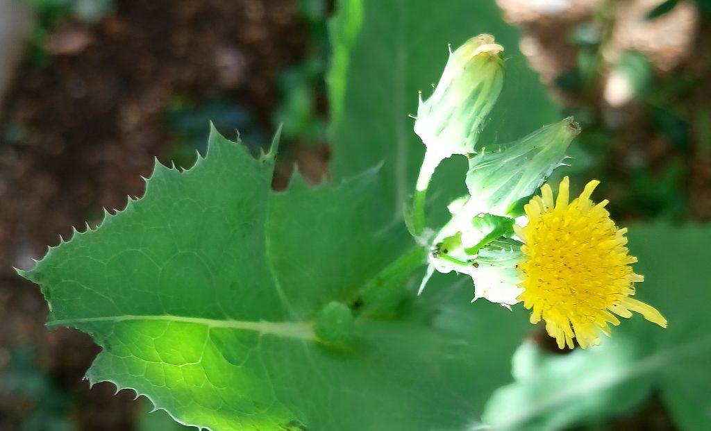 淡黄色、もしくは黄色の複数の舌状花を付けるノゲシ