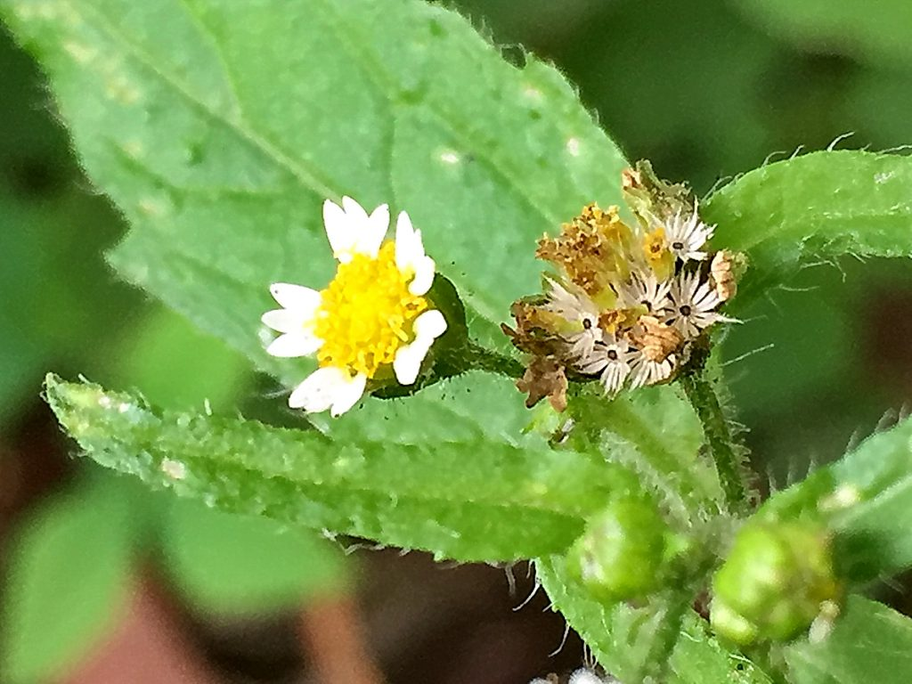 ハキダメギク(掃溜菊)花と冠毛