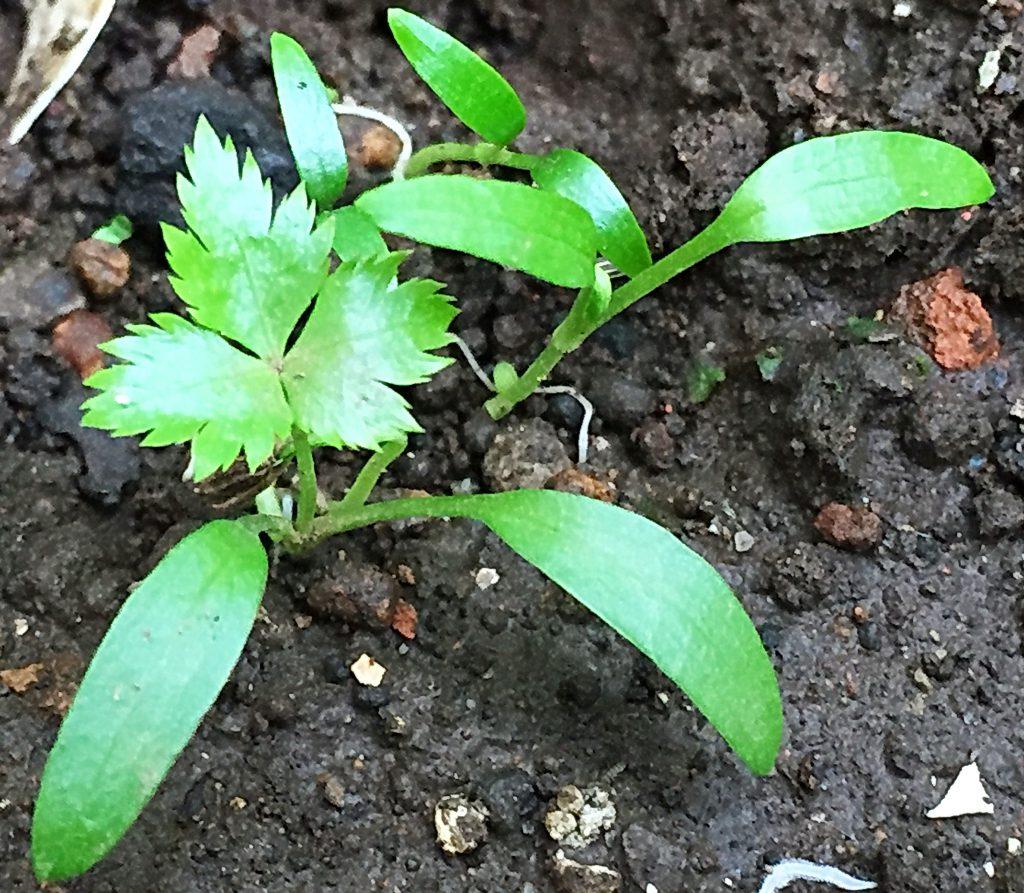 ミツバの零れ種からまた芽を出しました