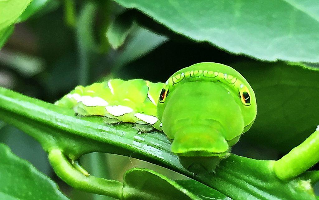 アゲハの終齢幼虫