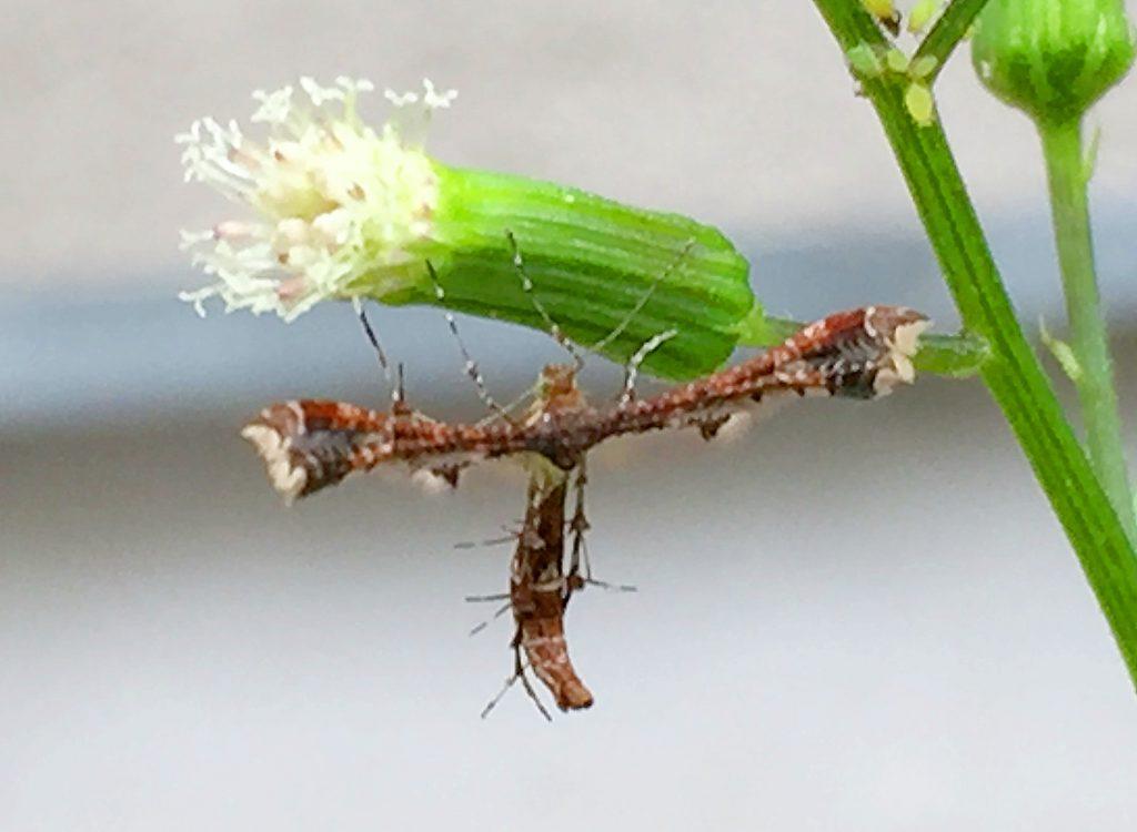 ダンドボロギク(段戸襤褸菊)にエゾギクトリバ