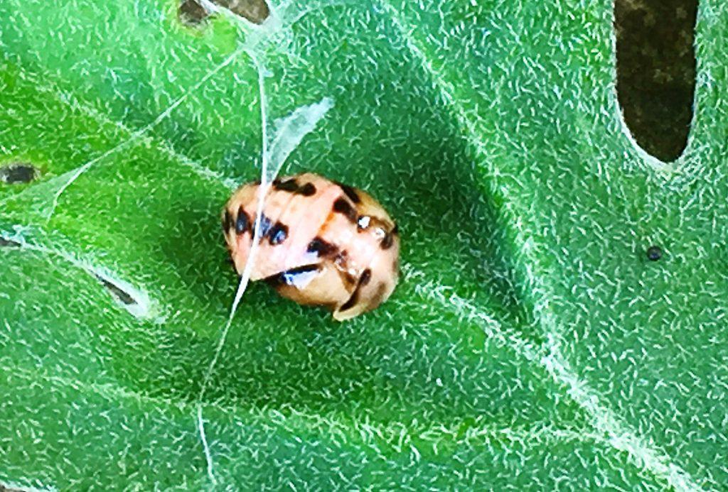 ダンダラテントウの蛹