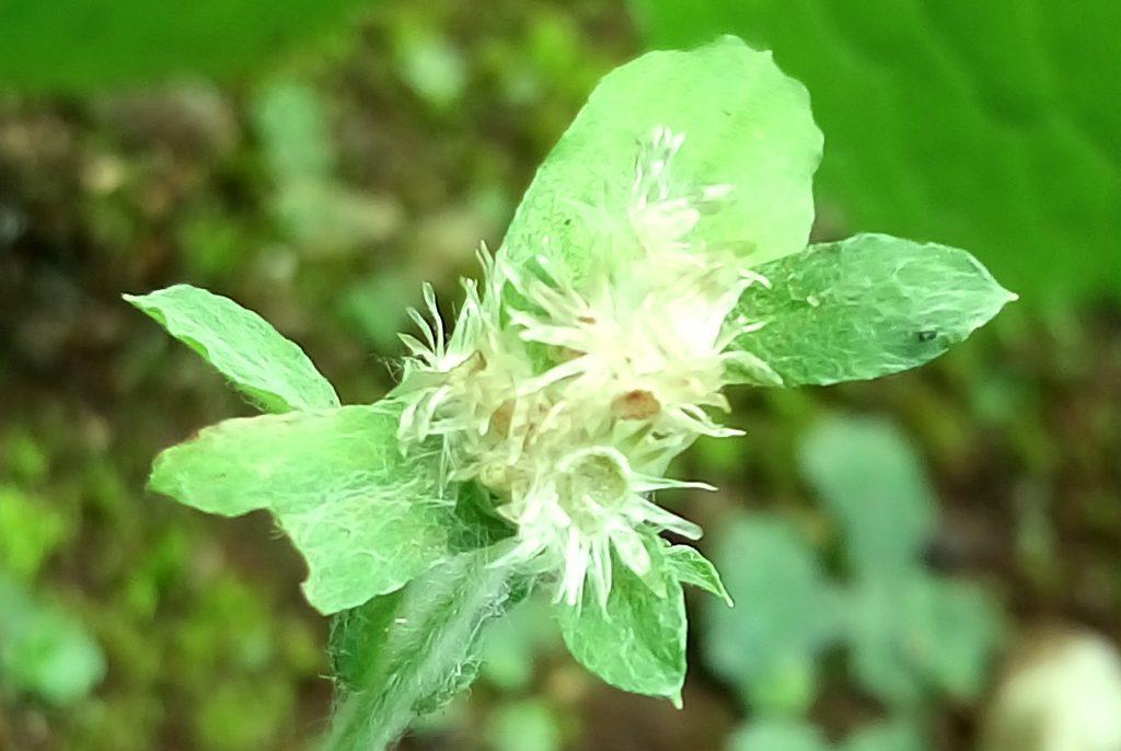 チチコグサモドキのりんぐじょうの花の跡