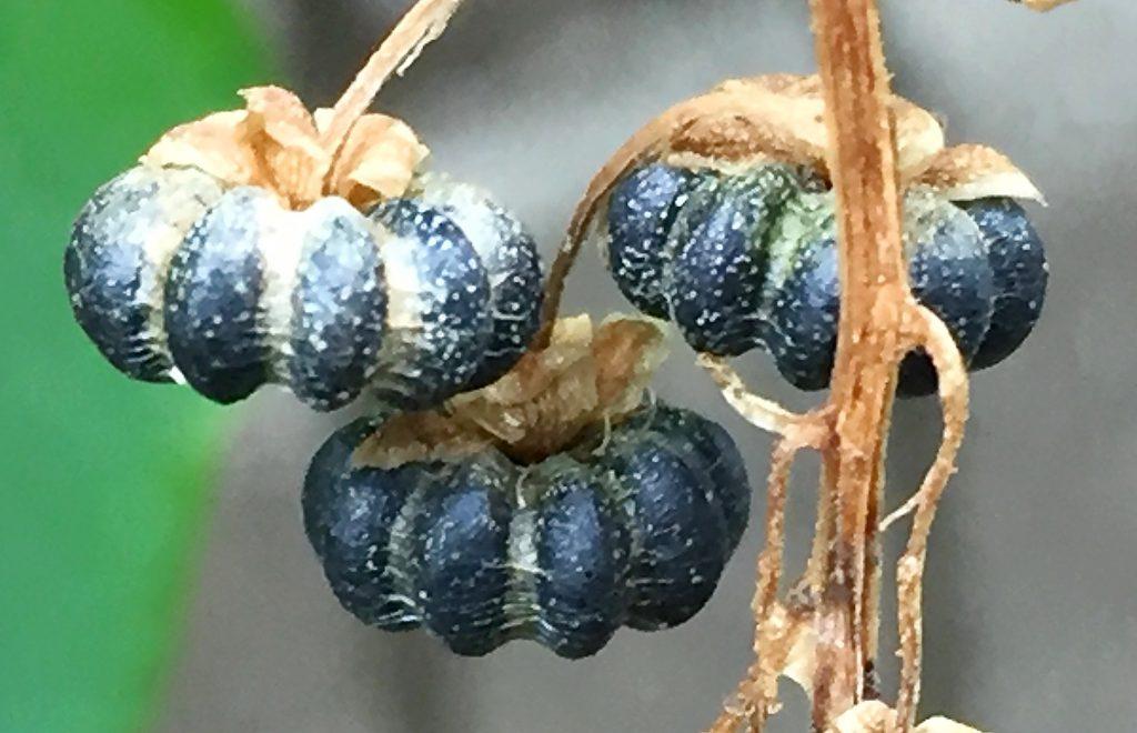 1部屋に1個の種子が入ったヨウシュヤマゴボウのカボチャのような果実、