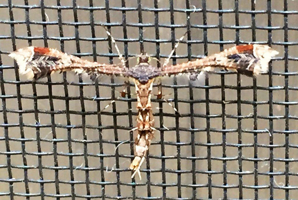 細い翅に三角形の紋と白い筋、翅の下には飾り毛のようなもの下がったエゾギクトリバ