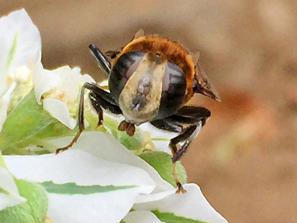 ハツユキソウの上で口器のお手入れ中のオオハナアブの雌