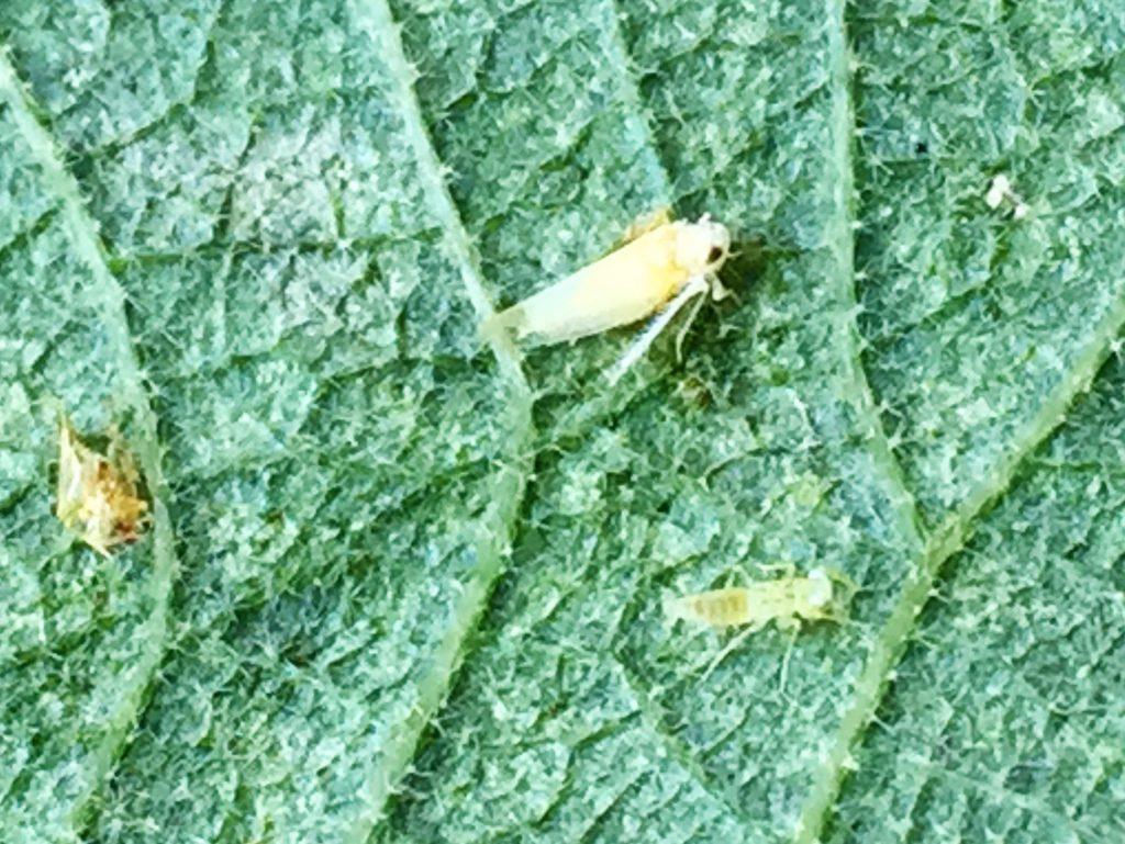 ゴールドキウイの葉裏に付いたキウイヒメヨコバイ 雌と幼虫