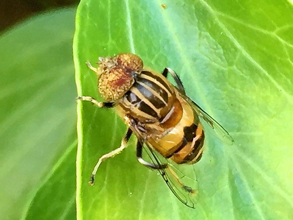 5本の黄色い縦縞、腹部上部に幅広い黄色い帯を持つキゴシハナアブ