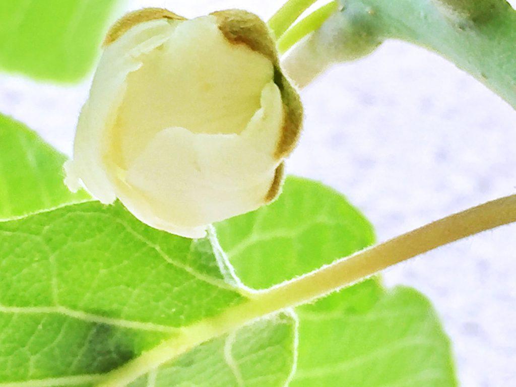 ゴールドキウイの白い花弁がほころびかけています。ほのかにいい香りがしまう