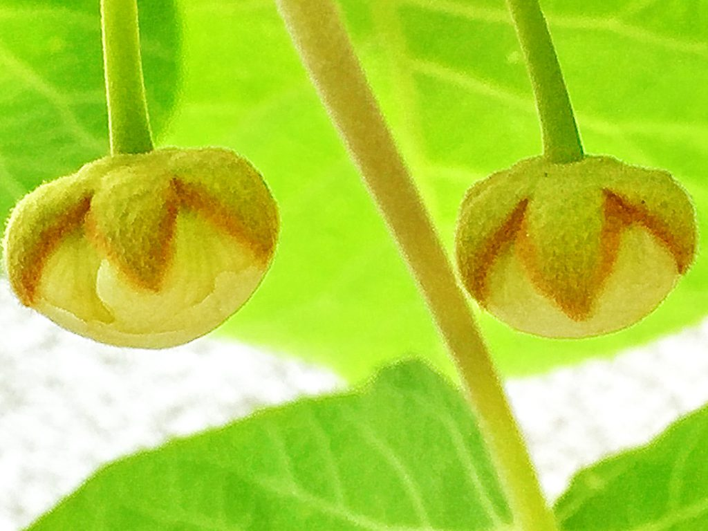 ゴールドキウイの蕾、毛だらけの萼がなんとも可愛い