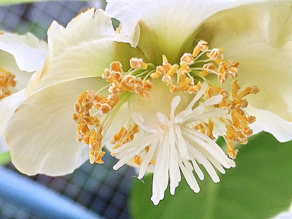 ゴールドキウイの子房から30本以上の白い花柱、雄しべの花粉に発芽能力はありません