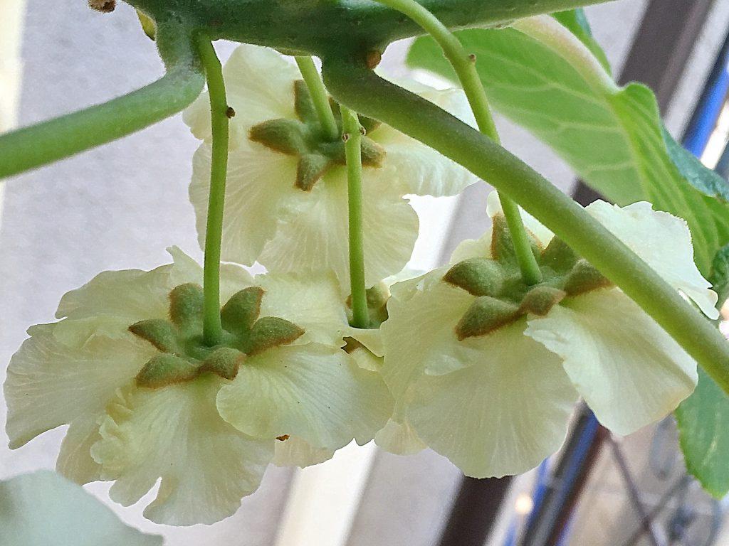 ぷっくらとした萼にフリルの付いた花弁が重なり合っています