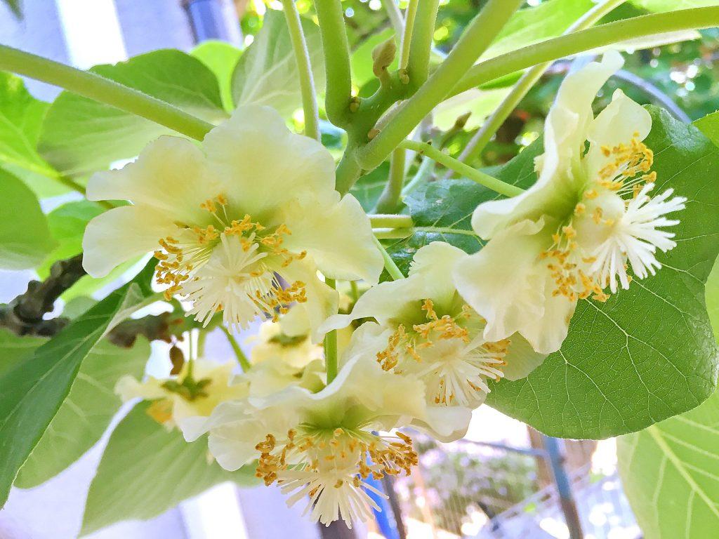 雌木のゴールドキウイの花葉陰に下向きに付きます