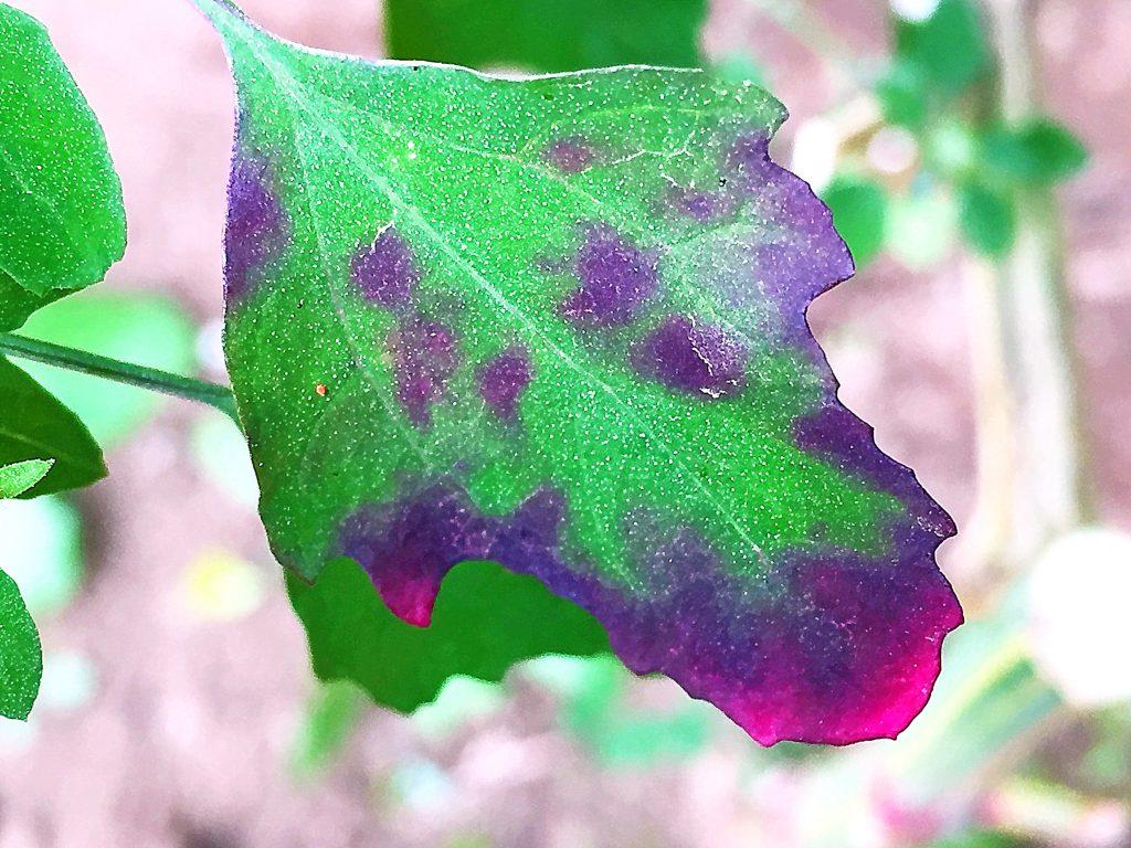 シロザの下部のひし形の葉は青く色づきその後赤みも差してきた