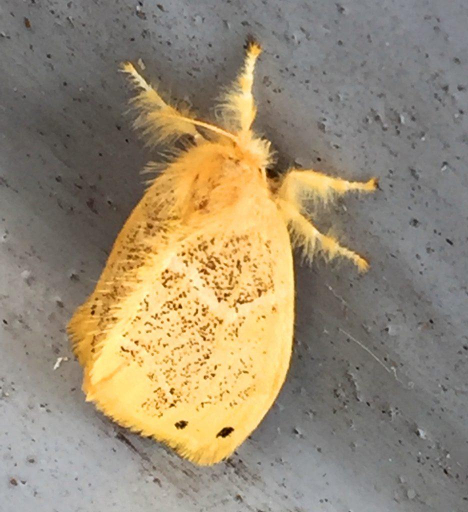 チャドクガの成虫