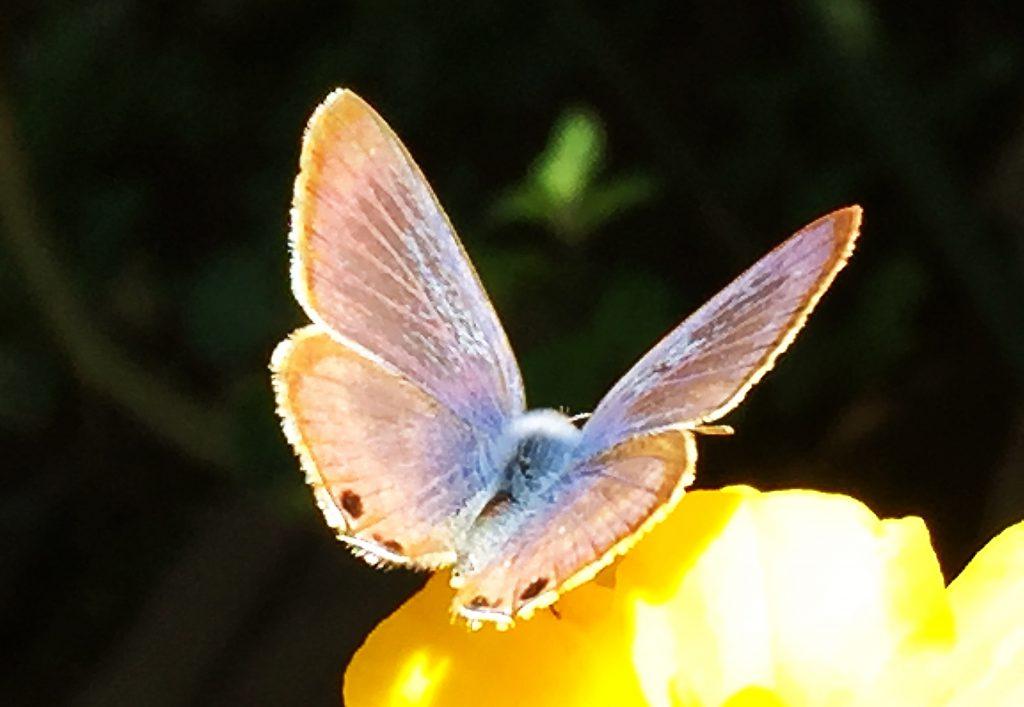 ヤマトシジミの雌の羽の表側は黒っぽく青い範囲は少しです。