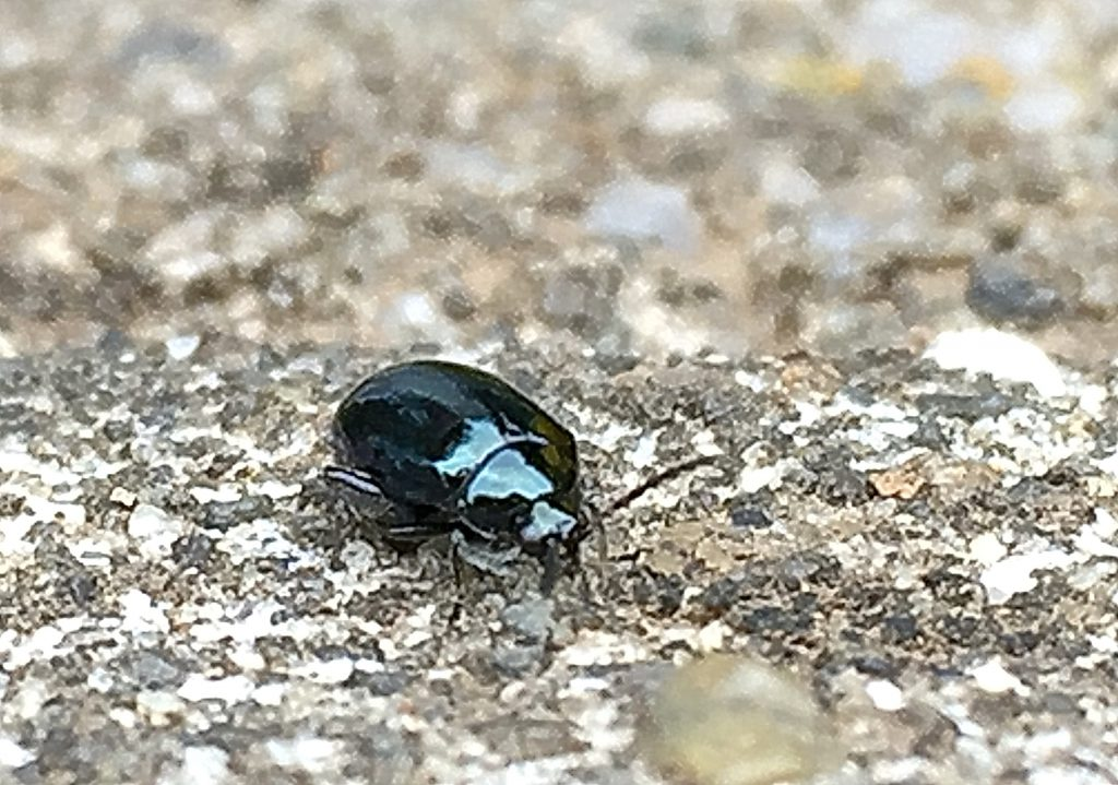 金属のような藍色や緑銅色など角度によって変わる黒光りした綺麗な虫ルリマルノミハ