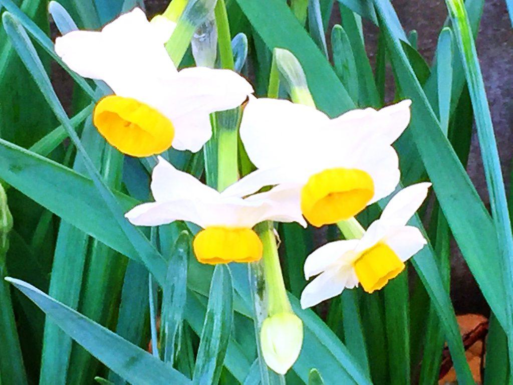 白い花被片に黄色の副冠を持ち芳香を放つ日本水仙