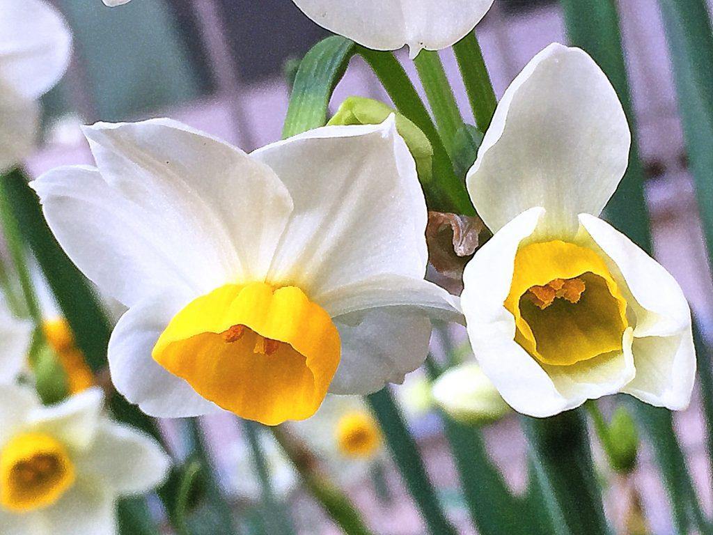 雪中花、雅客の名も持つ日本水仙