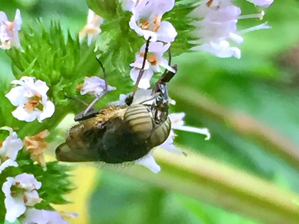 ツマグロギンバエ 食べ物を見つけると口器を長く伸ばします