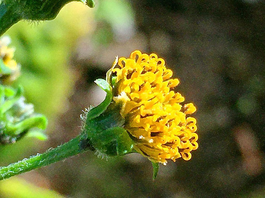 花粉を出し切り花柱がハート形になったコセンダングサ(小栴檀草)