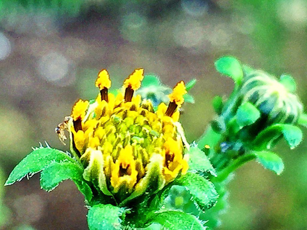 花柱が花粉を押し出して灯明のようなコセンダングサ(小栴檀草)