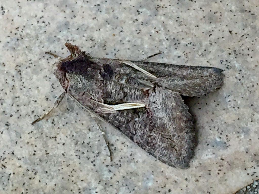 エゾギクトリバは前翅の中央に白状紋が目立ちます