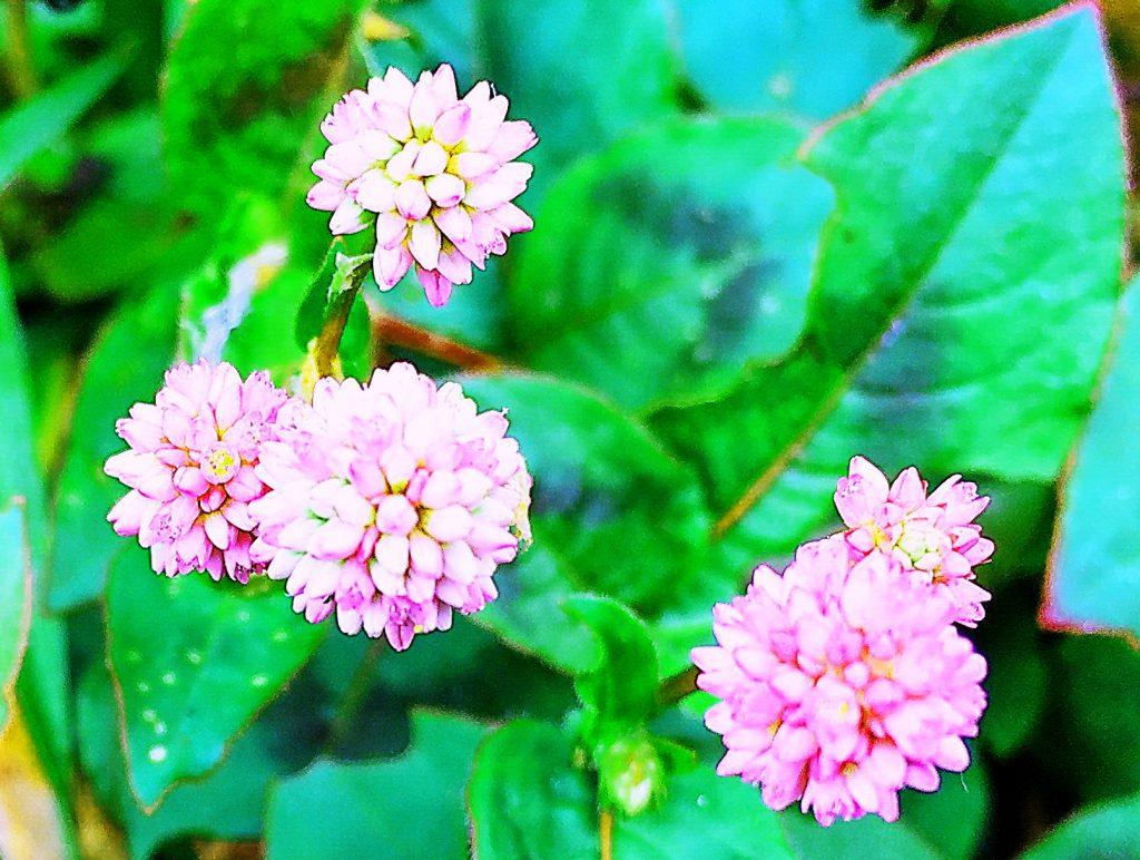 ヒメツルソバは花柄の先にピンク色の小花が球形に集まった1cmほどの花を次々と付けます。