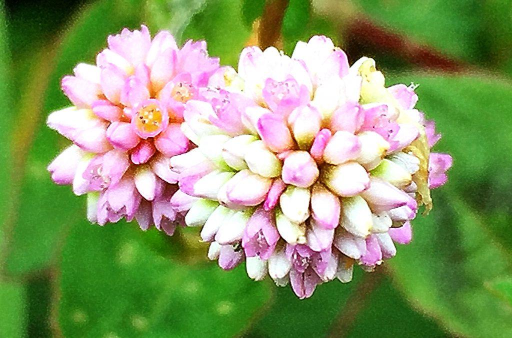 ヒメツルソバの花弁に見えるのは花被(蕚)、長く花が咲いているように見えます