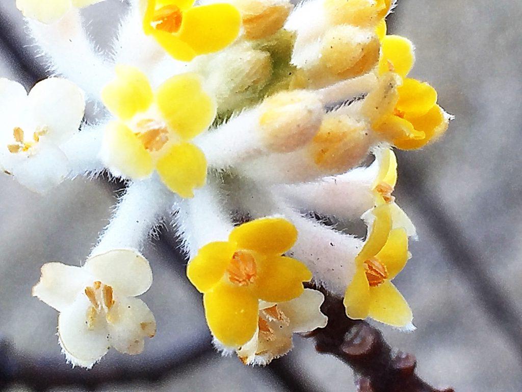 ふわふわと外側が白色、内側が鮮やかな黄色の春を呼ぶ花、ミツマタ