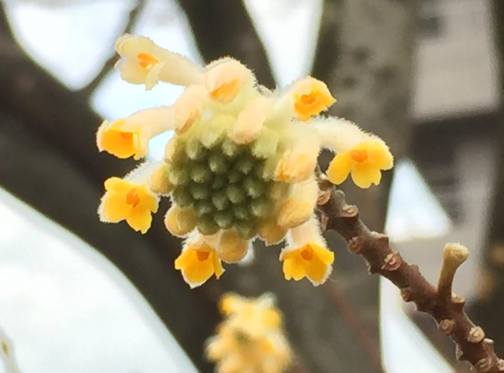 茎に半円形の葉痕があるミツマタ