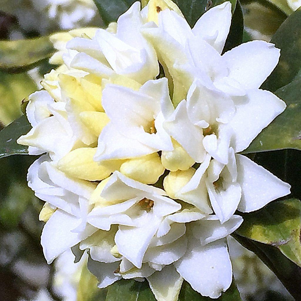 ふくよかな香りのジンチョウゲはラメのようにきらきら光って透明感がある花。