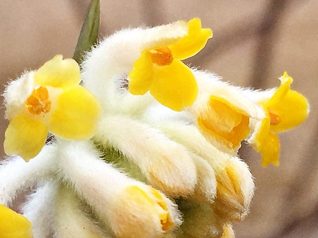 蕚筒は白い毛が密集し外側が白色、内側が黄色で先が4裂したミツマタ