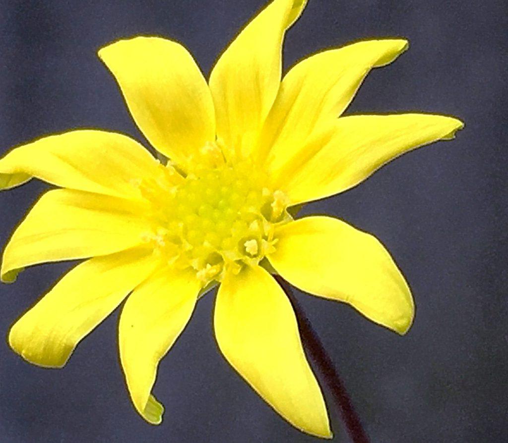 ルビーネックレスの花は長い花柄の先に付くキク科らしい黄色い花がゆらゆらと