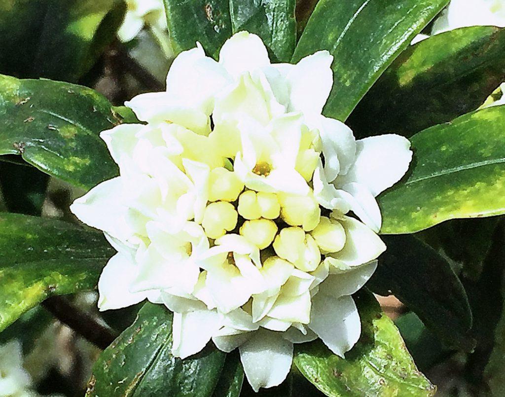 ジンチョウゲの葉は全縁、披針形で花を囲むように光沢のある厚みのある葉を放射状に出ます