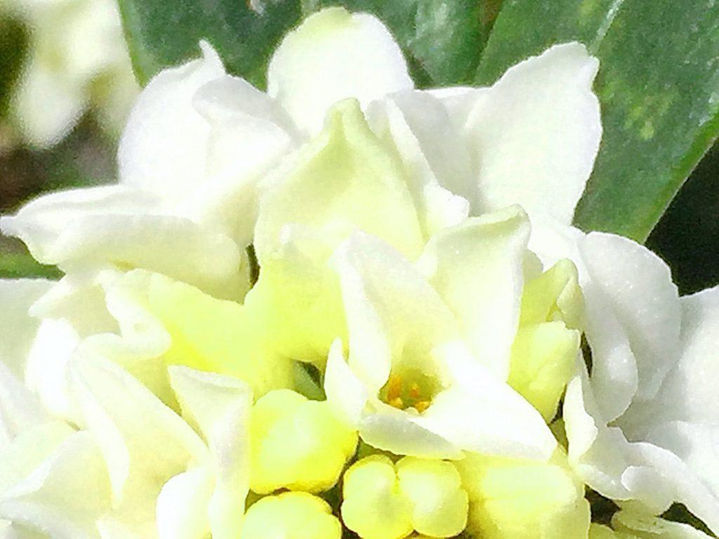 ジンチョウゲは花弁のように見えるのは蕚でキラキラしている