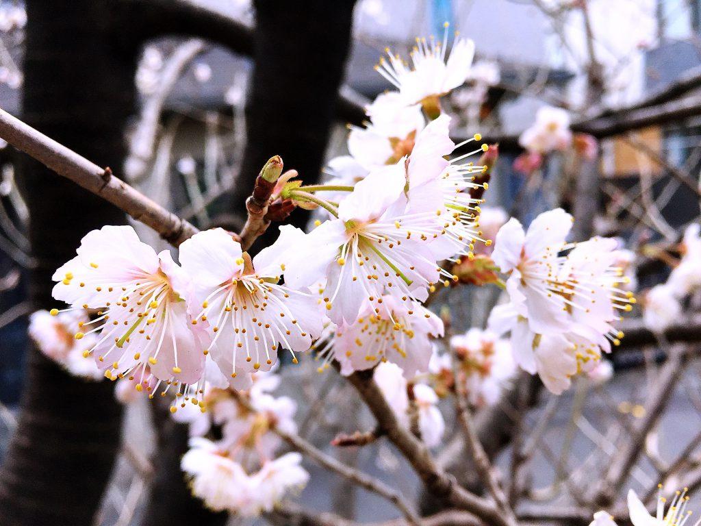 サクランボ(暖地桜桃)の花
