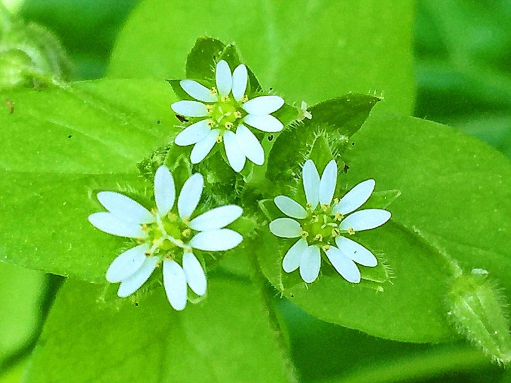 ミドリハコベ(緑繁縷)の花、雄しべが10本