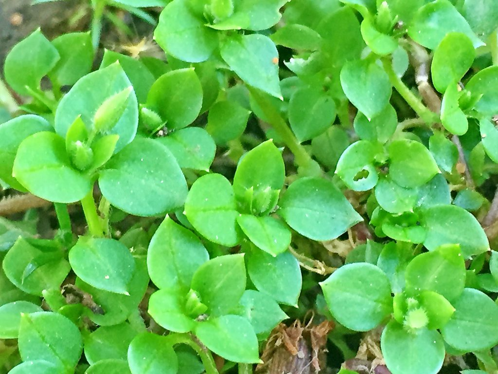 イヌコハコベは葉は対生で卵形、滑らかな葉がこんもりと茂る