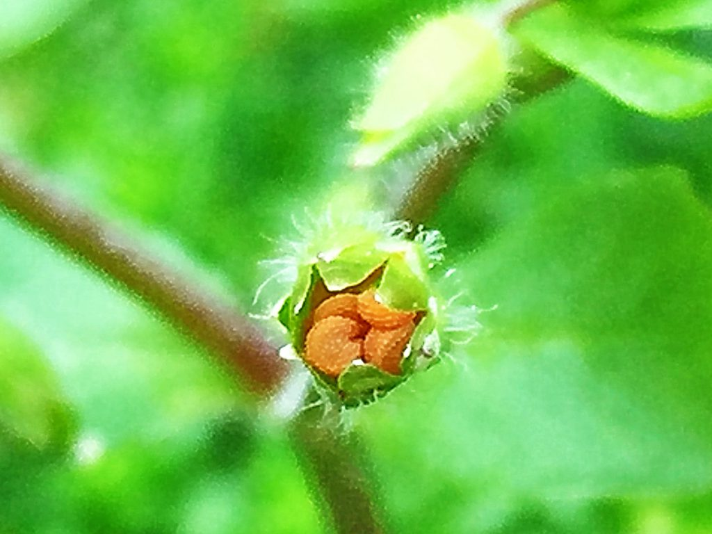 コハコベ(小繁縷)の明るい褐色でなだらかな突起を持つ種子