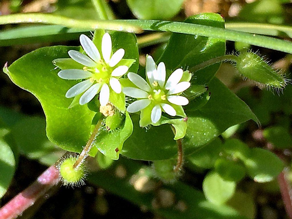 コハコベの花弁は白色で5枚。深く2裂していて下で繋がり10枚に見える