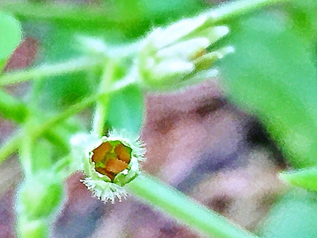 ミドリハコベ(緑繁縷)の尖った突起を持つ種子