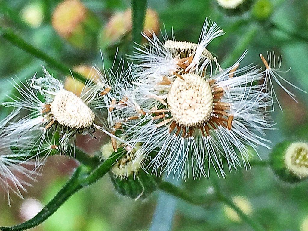 アレチノギク(荒地野菊)の冠毛