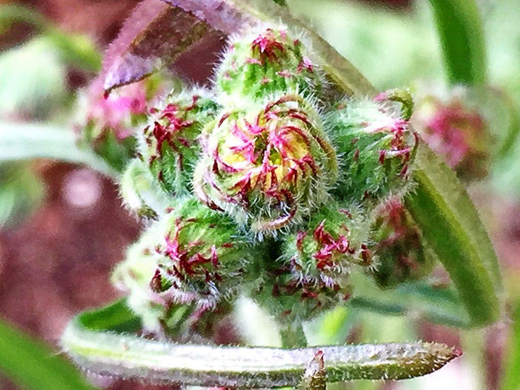 アレチノギク(荒地野菊)の花