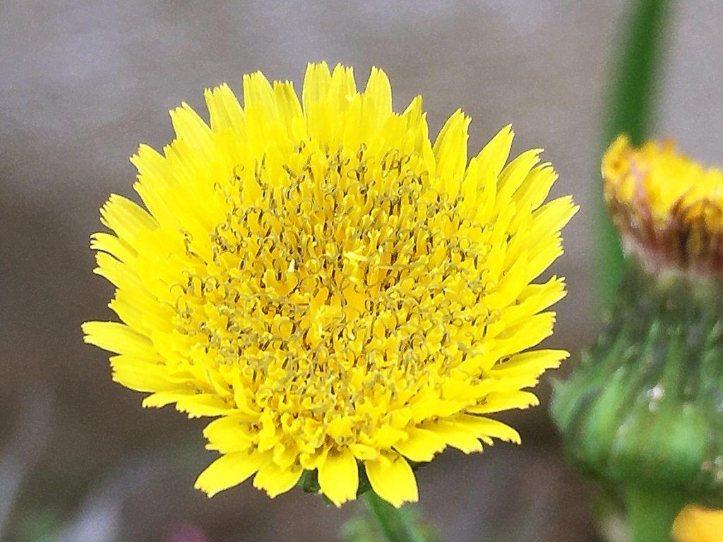 オニのゲシの頭花は直径2cmの舌状花